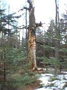 albero-secolare-scavato